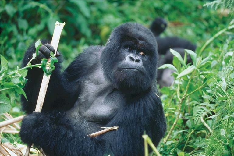 Primate Trekking in Rwanda: An Encounter with Gorillas and Chimpanzees
