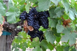 1024px-Napa_Valley_grapes_Photo_D_Ramey_Logan_02